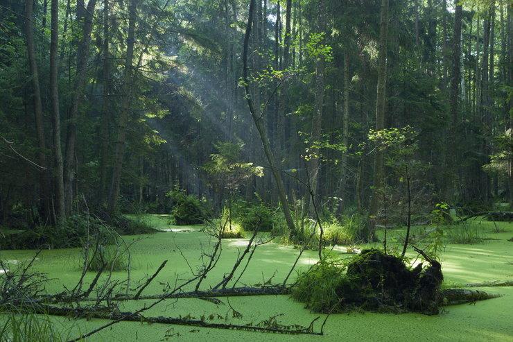 zielona puszcza białowieskiego parku narodowago